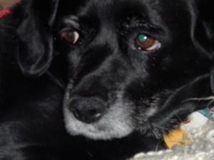 "Sailor - The ""Bleagle"" (Black Lab Beagle)"